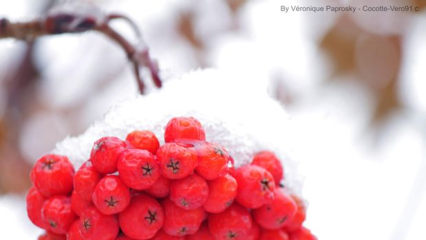 Snowy Berry by Cocotte-Vero91