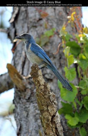 Florida Scrub Jay Stock 1 by Cassy-Blue
