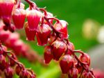 Pink Pieris Japonica by EdwardCullenLover101