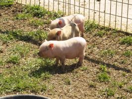 cute piglets by Irie-Stock