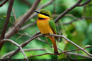 Little Bee-Eater by Solrac1993