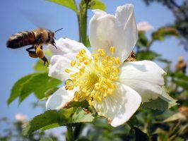 Bee at work by grini