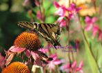 The Great Western Tiger Swallowtail by Miss-Whoa-Back-Off