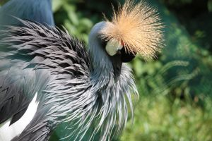 Grey Crowned Crane II by YunaHeileen