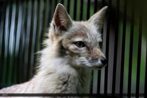Corsac Fox 2 by Canisography