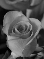 Black and White Rose by timsquire