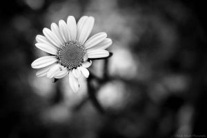 Black And White Daisy by christycameasromans