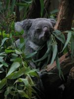 Animals 112 koala by Dreamcatcher-stock