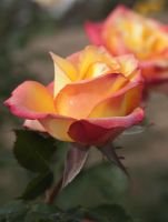 Orange Rose by mikemcnary
