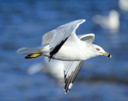 Ring Billed Gull by sgt-slaughter