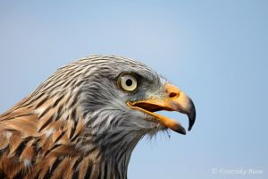 Red Kite VII by Gambassi