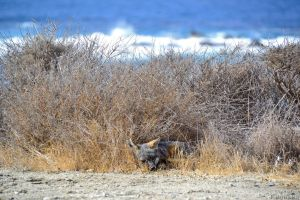 Catalina Island Fox (Urocyon littoralis) by Kiloueka