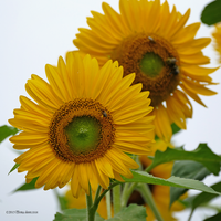 Yellow green sunflower square by Mogrianne