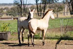 HH Iberian foals standing view behind by Chunga-Stock