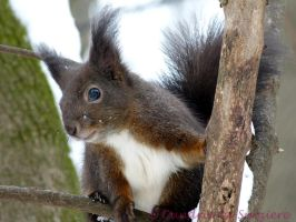 Squirrel 24 by Cundrie-la-Surziere