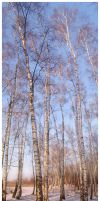 - Birch-tree Panorama - by kissesfrom