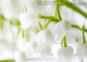 Lilly of the Valley by blue-liaison