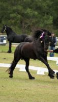 FR Big canter mane out ribbon on by Chunga-Stock