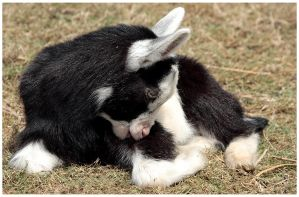 Baby Goat by Hatch1921