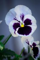 Pansy by StephGabler