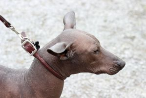 Mexican Hairless by Nucozih