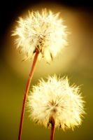 dandelions by homedoggieo