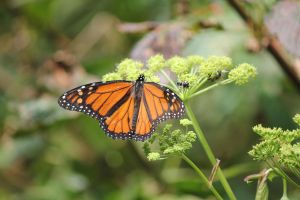 Monarch ButterFly by wolvesthewarrior