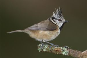 Crested tit by Jamie-MacArthur