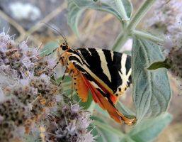 Jersey Tiger by MountainsMarmot
