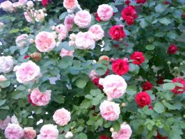 Pink and red roses by DenyG