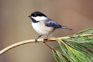 Chickadee - 1 by creative1978
