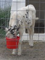 Dalmation Spotted Calf by SailorUsagiChan