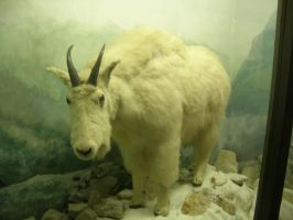 Mountain goat 1 by blacksilence-stock