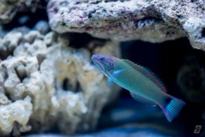 Lunare Wrasse by gmwebs