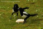 Magpies by Hitomii