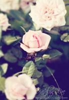 Roses by katelynrphotography