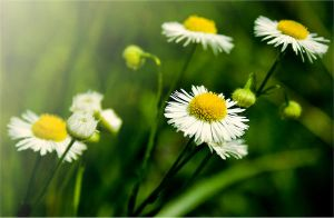 Wild Flowers by violety