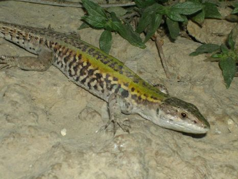 Lizard by oliverporter3