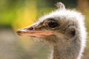 ostrich by Tschisi