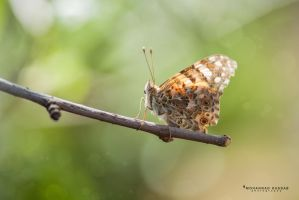 Butterfly by MohannadQassab