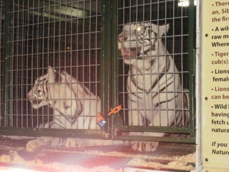 White tigers by NoxNightstalker