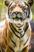 Tiger Portrait Day by 904PhotoPhactory