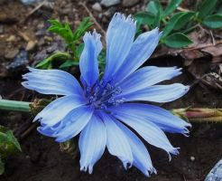 Chicory by AppleBlossomGirl