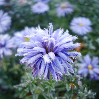 Frosted aster by RavenMontoya