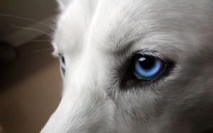 Husky Eye by endeavor21