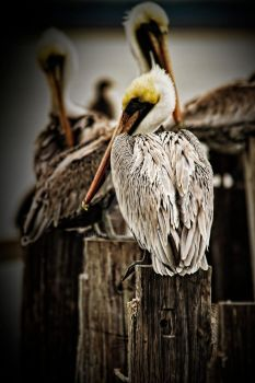 Council of Pelicans by TwilitLens