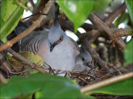 Crested Pigeon and Chick by Firey-Sunset