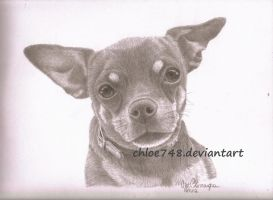Chihuahua in Graphite by chloe748
