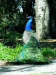 A Peacock by skinsvideos21