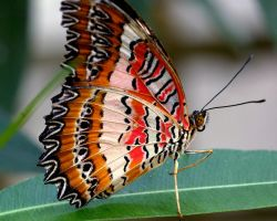 Red Lacewing Butterfly by macgabhan
